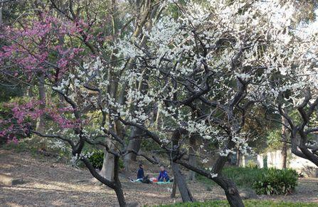 芝公園で梅の花見