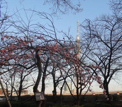 隅田河畔の梅