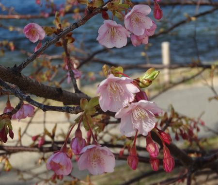 河津桜開花