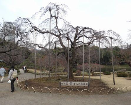 隣りは枝垂れ桜