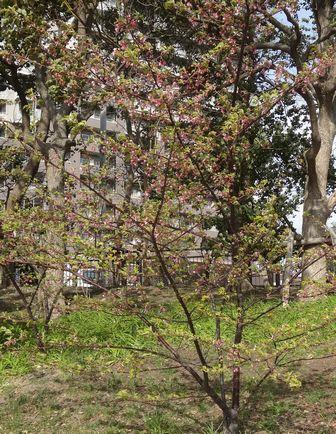 河津桜は葉桜に
