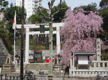 乃木神社のしだれ