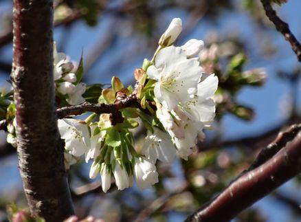 開花の発表基準をクリア
