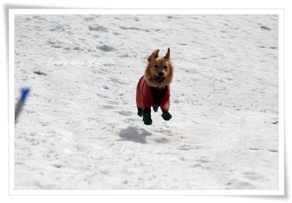雪の飛行犬ララ201303