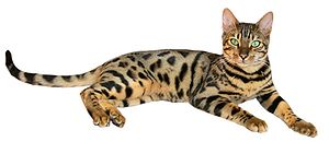 300px-Brown_spotted_tabby_bengal_cat.jpg
