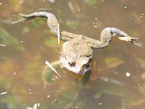 泳ぐカエル1