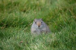 ユインタジリス (Uinta Ground Squirrel)