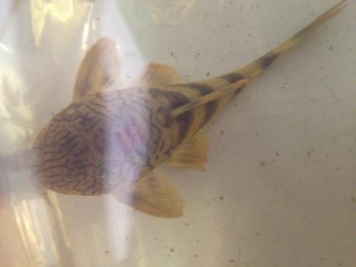 ロライマ オレンジフィンレオパードタイガー 東海 岐阜 熱帯魚 水草 観葉植物販売 Grow aquarium