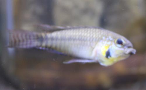 タパジョスグレイトリム 東海 岐阜 熱帯魚 水草 観葉植物販売 Grow aquarium