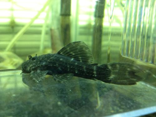 ブラックエンペラートリム 東海 岐阜 熱帯魚 水草 観葉植物販売 Grow aquarium
