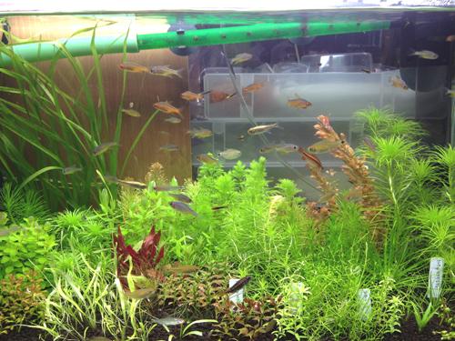 トゥッカーノテトラ 東海 岐阜 熱帯魚 水草 観葉植物販売 Grow aquarium