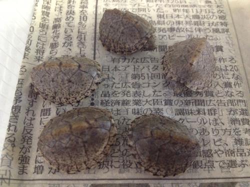 カブトニオイガメ 東海 岐阜 熱帯魚 水草 観葉植物販売 Grow aquarium