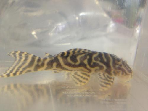 クルアウナゴールデンキングロイヤル ワイルド3 東海 岐阜 熱帯魚 水草 観葉植物販売 Grow aquarium