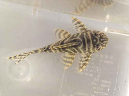 クルアウナゴールデンキングロイヤル ワイルド1 東海 岐阜 熱帯魚 水草 観葉植物販売 Grow aquarium