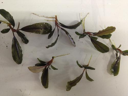 ブセファランドラsp.サンガウ 東海 岐阜 熱帯魚 水草 観葉植物販売 Grow aquarium
