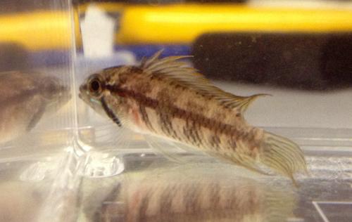 アピストグラマ レッドフィンギピケプス リオアイワナ 東海 岐阜 熱帯魚 水草 観葉植物販売 Grow aquarium
