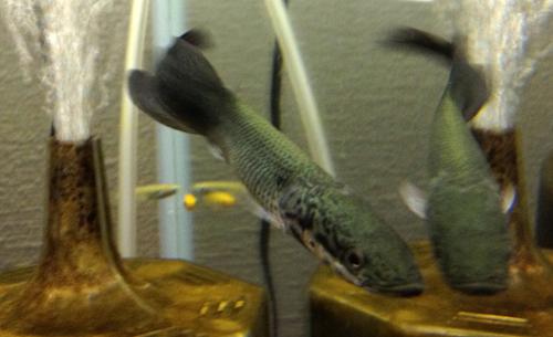 ピラルク 東海 岐阜 熱帯魚 水草 観葉植物販売 Grow aquarium