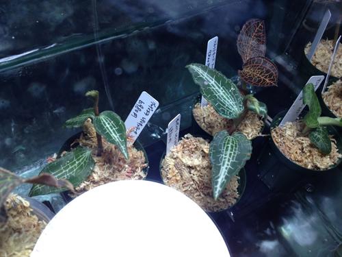 ジュエルオーキッド 東海 岐阜 熱帯魚 水草 観葉植物販売 Grow aquarium
