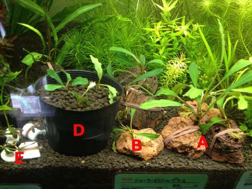 ボルネオワイルドブセ4種類4株セット 東海 岐阜 熱帯魚 水草 観葉植物販売 Grow aquarium