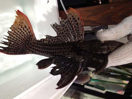 ウルトラスカーレットトリムプレコ サンフェリックス 東海 岐阜 熱帯魚 水草 観葉植物販売 Grow aquarium