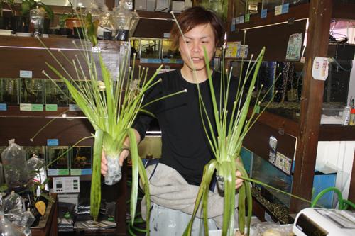 ホシクサsp.ロブスト 東海 岐阜 熱帯魚 水草 観葉植物販売 Grow aquarium