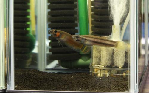 ベタ マクロストマ産卵経験ありペア 東海 岐阜 熱帯魚 水草 観葉植物販売 Grow aquarium