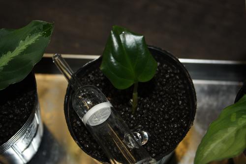 アグラオネマ メタリカ 東海 岐阜 熱帯魚 水草 観葉植物販売 Grow aquarium
