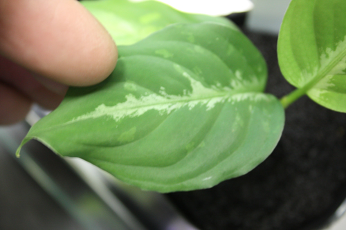 アグラオネマsp.トリカラーインドネシア便ワイルド1 東海 岐阜 熱帯魚 水草 観葉植物販売 Grow aquarium