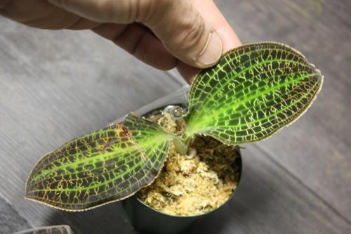 Macodes sanderiana マコデス サンデリアーナ イリアンジャヤ 東海 岐阜 熱帯魚 水草 観葉植物販売 Grow aquarium