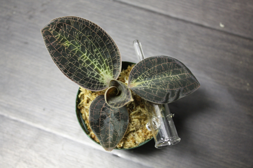 Dossinia marmorata ドッシニア マルモラータ ボルネオ 東海 岐阜 熱帯魚 水草 観葉植物販売 Grow aquarium