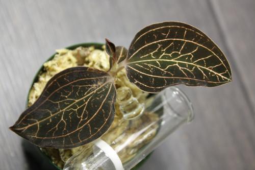 Anoectochilus albolineatus アネクトキルス アルボリネータス 東海 岐阜 熱帯魚 水草 観葉植物販売 Grow aquarium