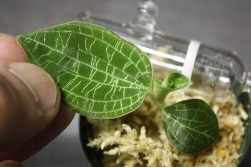 Macodes petra ver silver line 東海 岐阜 熱帯魚 水草 観葉植物販売 Grow aquarium