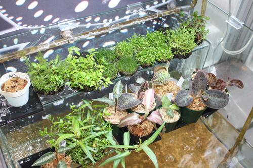 侘び草入荷 東海 岐阜 熱帯魚 水草 観葉植物販売 Grow aquarium