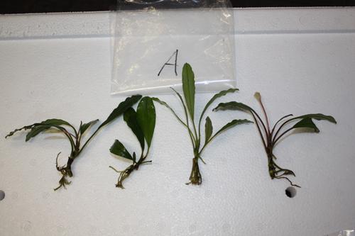 ボルネオワイルドブセファランドラA 東海 岐阜 熱帯魚 水草 観葉植物販売 Grow aquarium