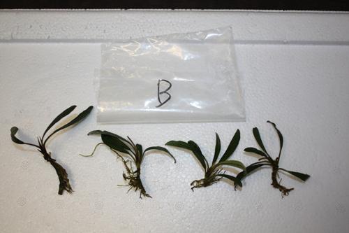ボルネオワイルドブセファランドラB 東海 岐阜 熱帯魚 水草 観葉植物販売 Grow aquarium