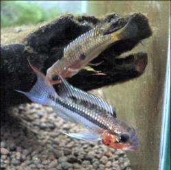 懐かしいぃ~このころはアピスト三昧でした^^;; 東海 岐阜 熱帯魚 水草 観葉植物販売 Grow aquarium