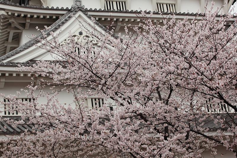 小倉城桜001