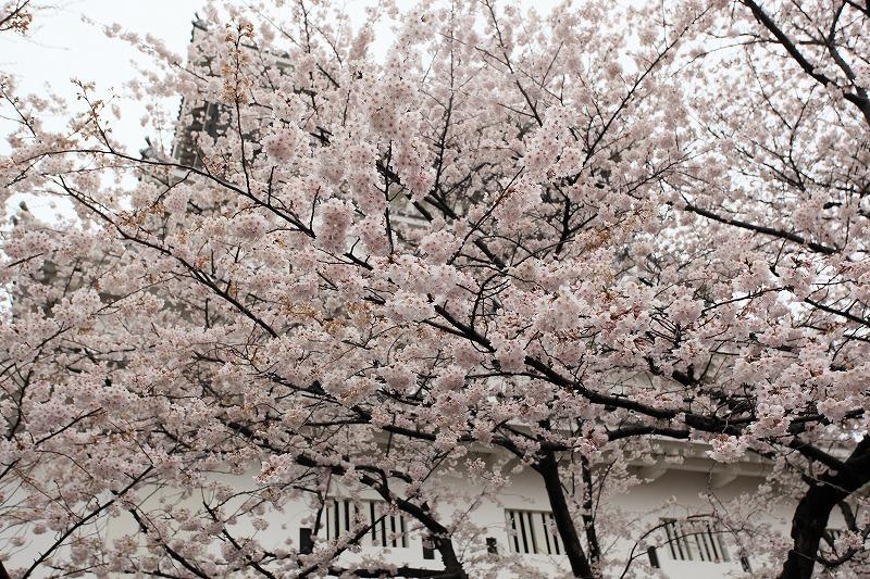 小倉城桜002
