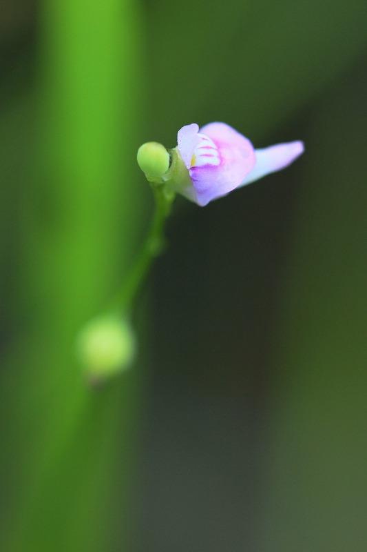 murasakimimikakigusa001.jpg