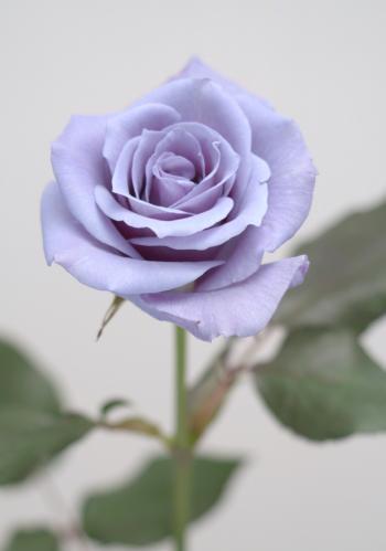 青いバラ1