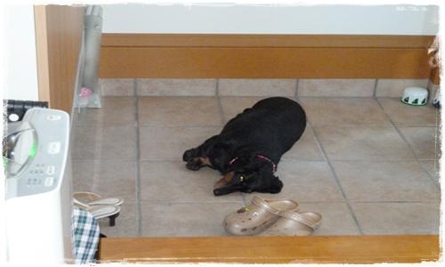玄関で寝るチャッピー