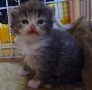 2010/3/21 誕生のブルー&Wの子猫