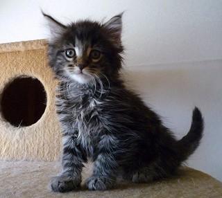 マイペースなノル子猫・シルバーカラー単色の男の子
