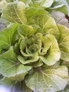 白菜200912151603000