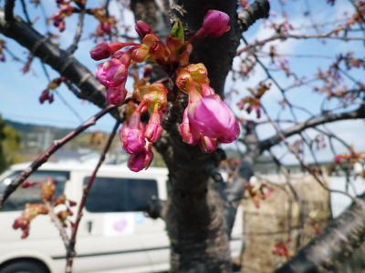図書館裏の河津桜