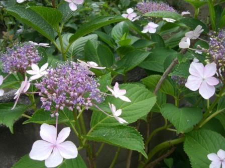 山額紫陽花2010