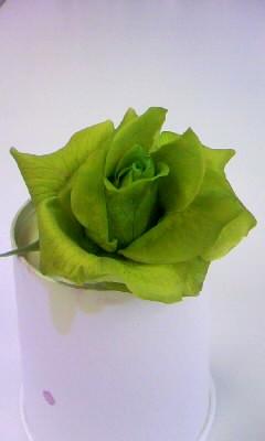 ライトグリーンでバラを