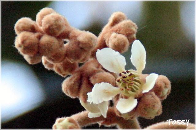 ビワ ツボミと花