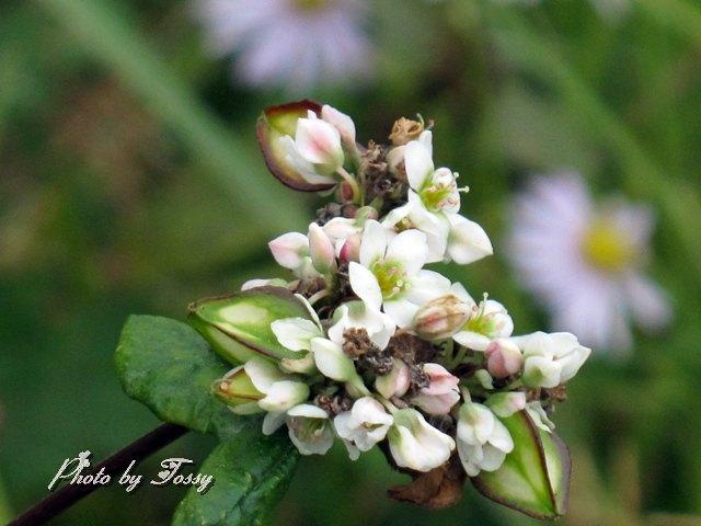 ソバの花1