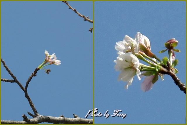 10月に咲いたソメイヨシノ